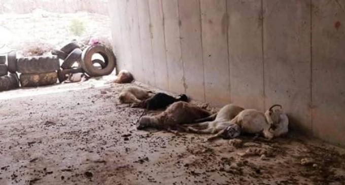 En raison de pesticides toxiques pulvérisés par des colons israéliens extrémistes, des agriculteurs Palestiniens de la vallée du Jourdain, à l'est de la Cisjordanie occupée, ont signalé la mort de plus de 60 moutons aujourd'hui.